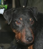 Sad Jagdterrier dog