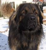 Sad Leonberger dog