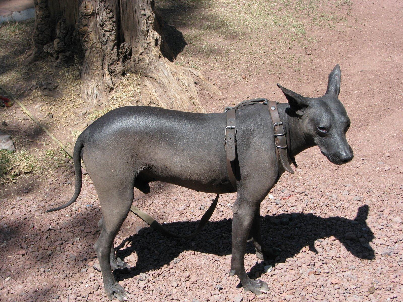 Грустная мексиканская голая собака фото
