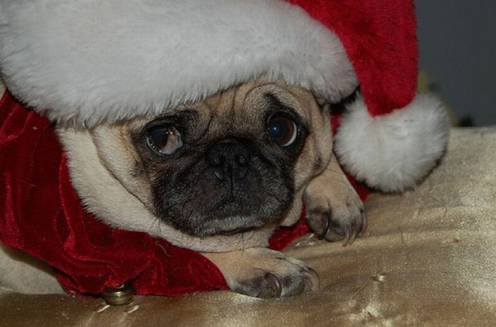 Sad New Year's Day Pug  фото