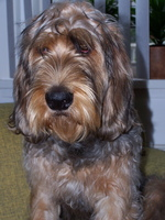 Sad Otterhound dog