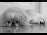 Sad Pekingese dog