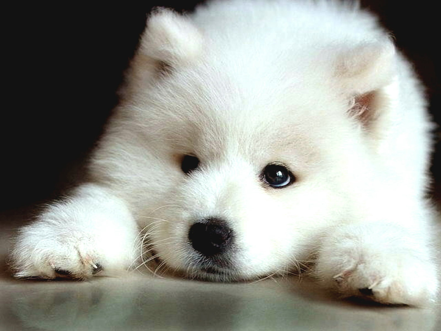 pics photos   samoyed dog pictures and photos