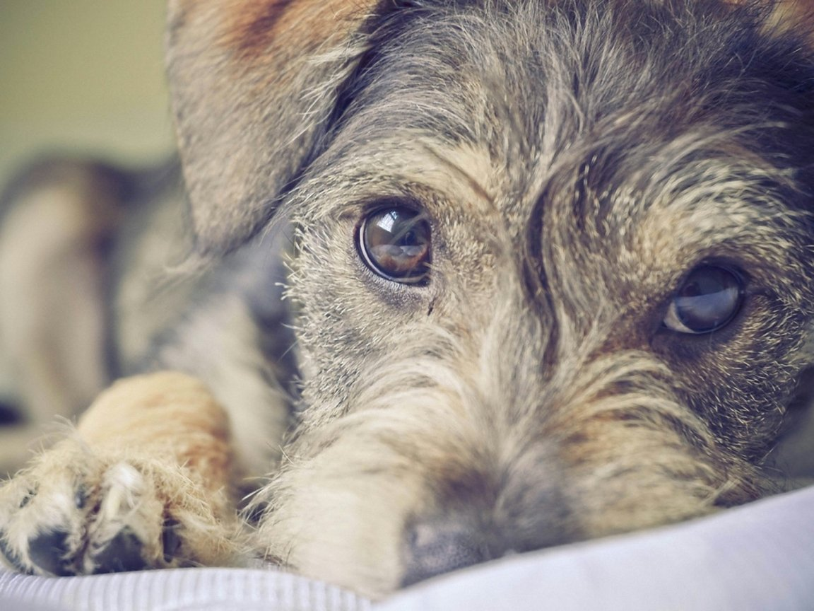 Sad Schnauzer, Standard dog wallpaper
