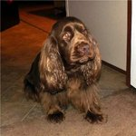 Sad Sussex Spaniel