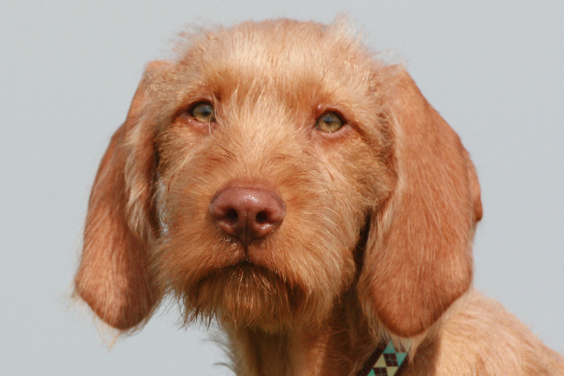 Sad Wirehaired Vizsla dog wallpaper