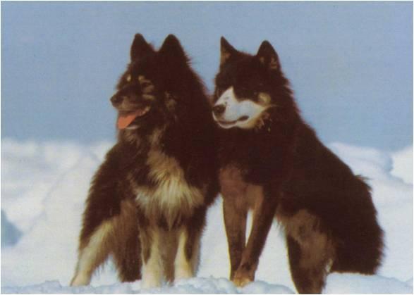 Sakhalin Husky dogs wallpaper