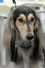 Saluki dog face