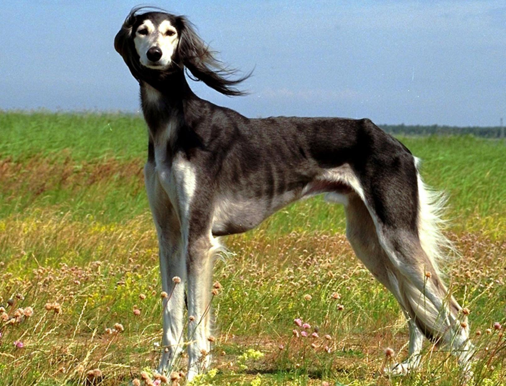 Saluki dog in the field wallpaper