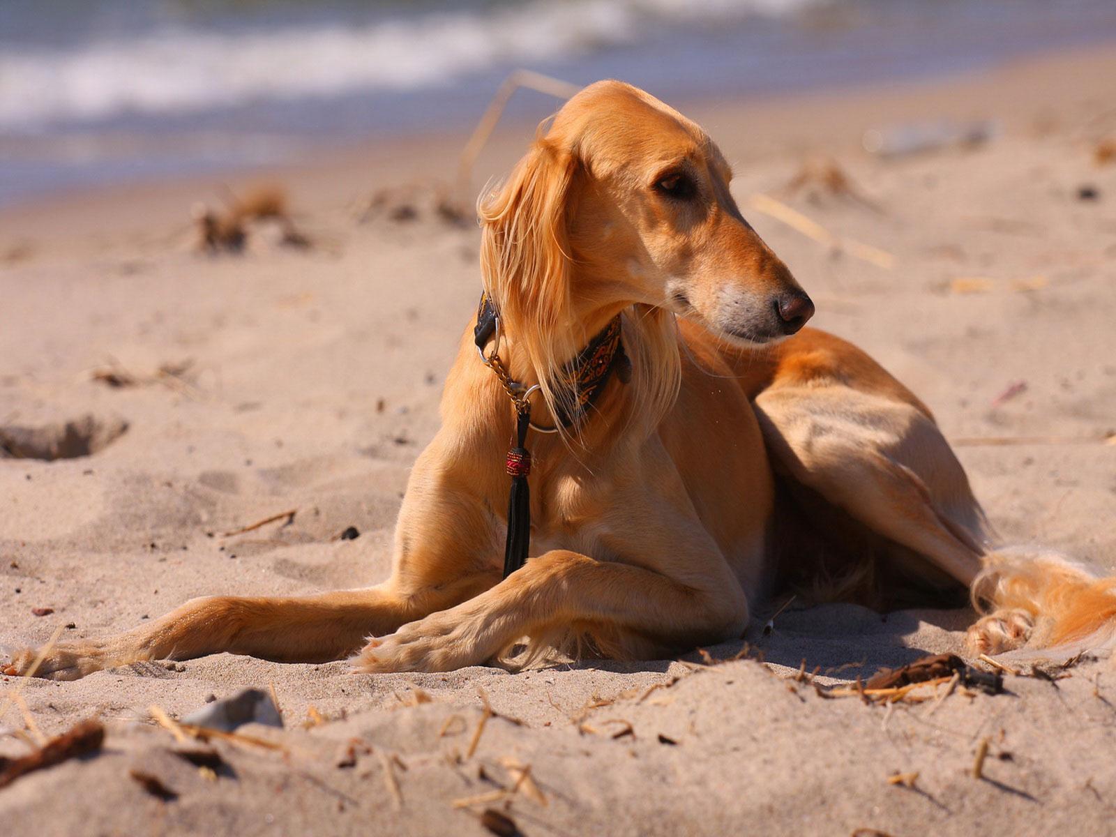 Saluki dog on the sand wallpaper