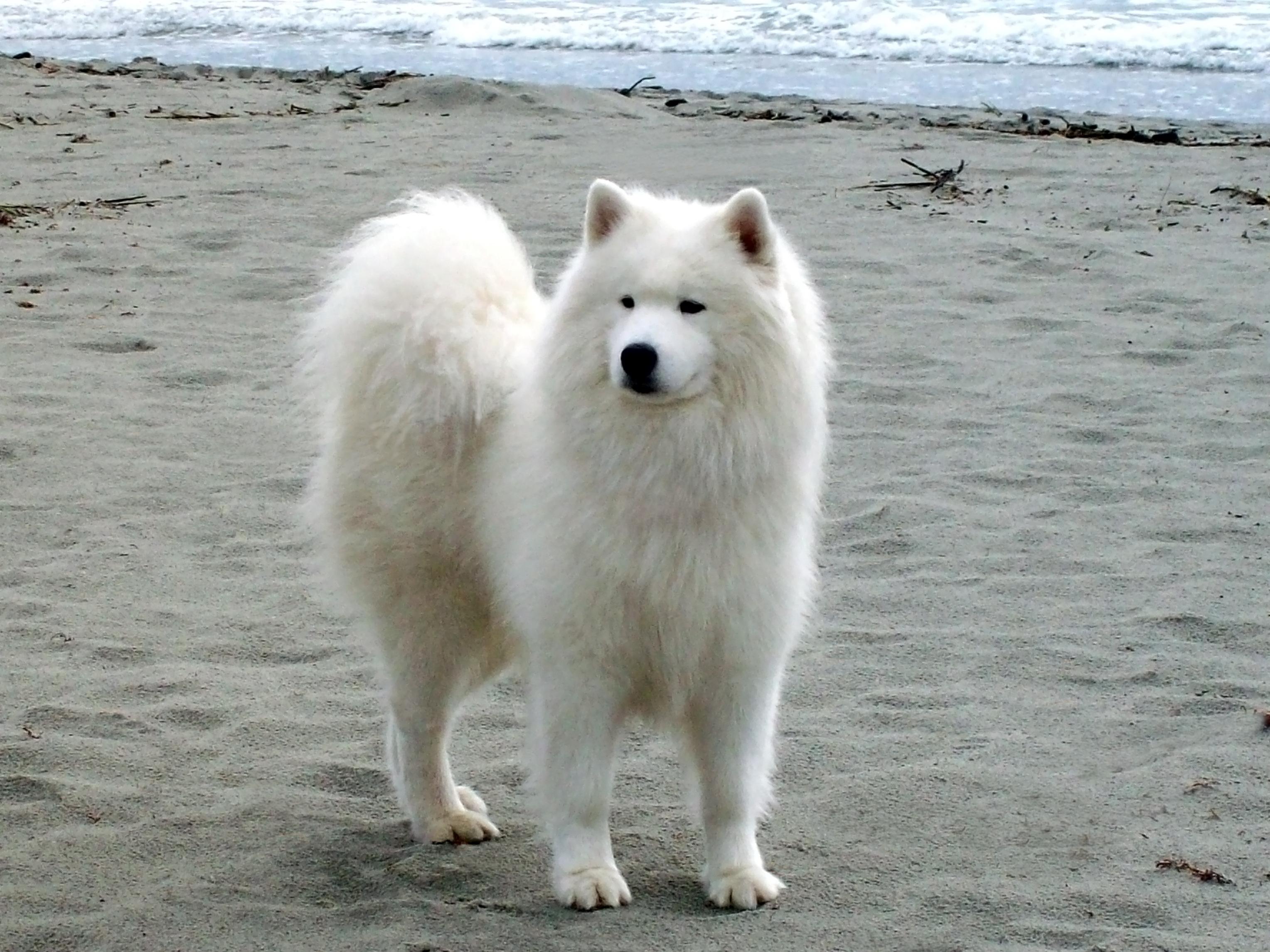 Самоедская собака возле океана фото