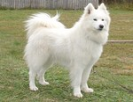 Samoyed dog on the grass