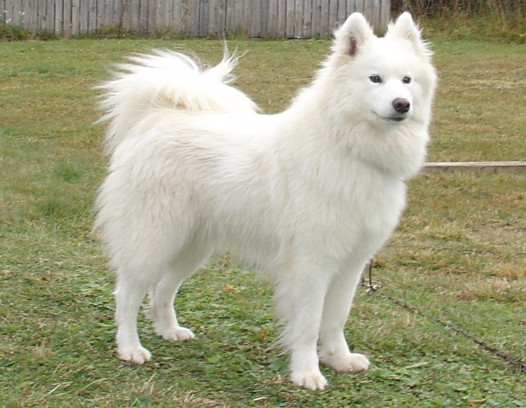 Samoyeds Dog Names Add Photos Samoyed Dog on The