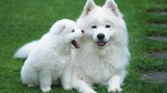 Samoyed dog with her baby