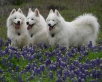 Samoyed dogs in flowers