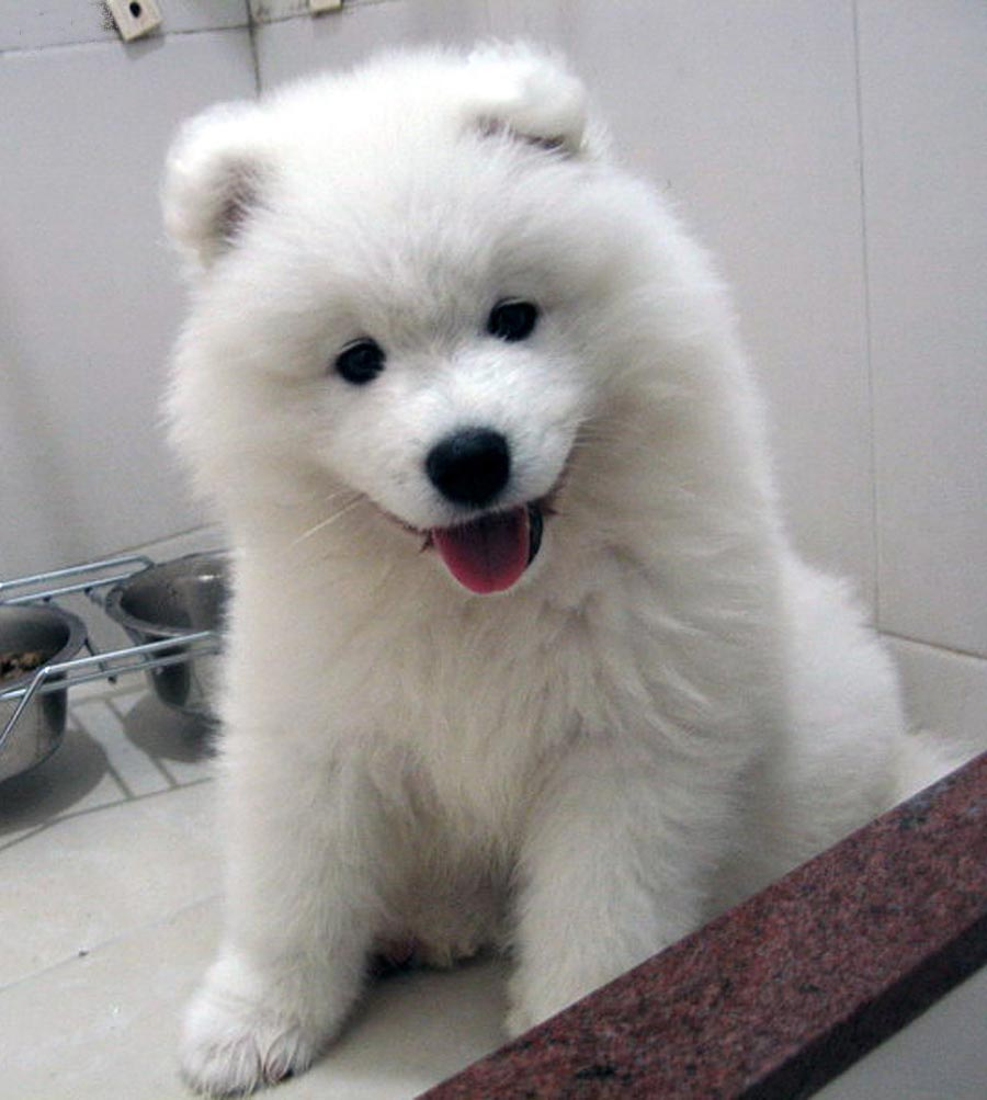 Samoyed (dog), Picture Of Array : Nice Samoyed Dog Photo And Wallpaper. Beautiful Nice Samoyed Dog ...: Nice Samoyed dog photo and wallpaper. Beautiful Nice Samoyed dog …