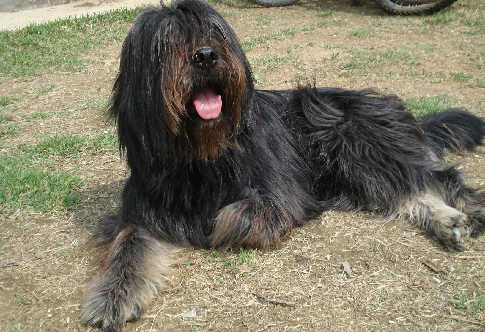 Sapsali dog on the sand photo and wallpaper. Beautiful Sapsali dog on ...