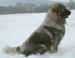 Sarplaninac dog on the snow