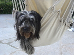 Schapendoes dog in a hammock