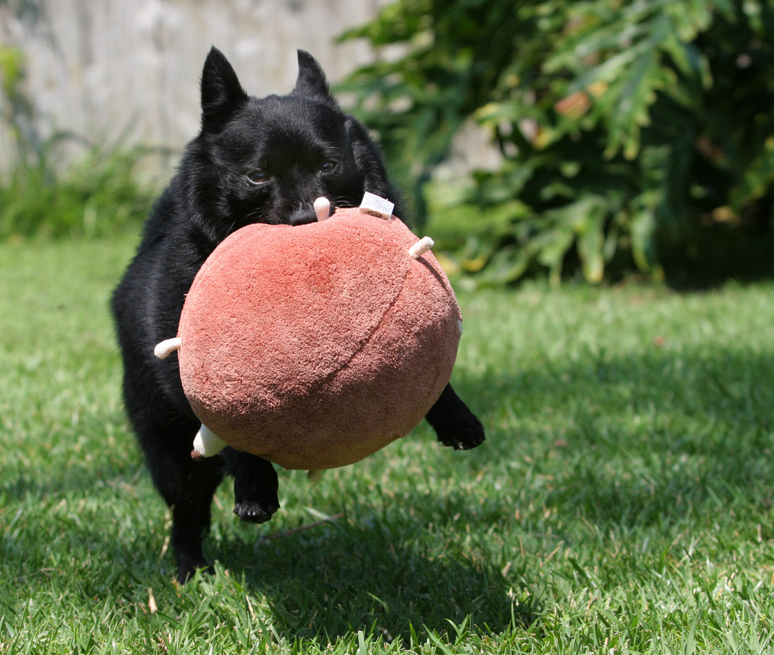Schipperke dog with a toy wallpaper