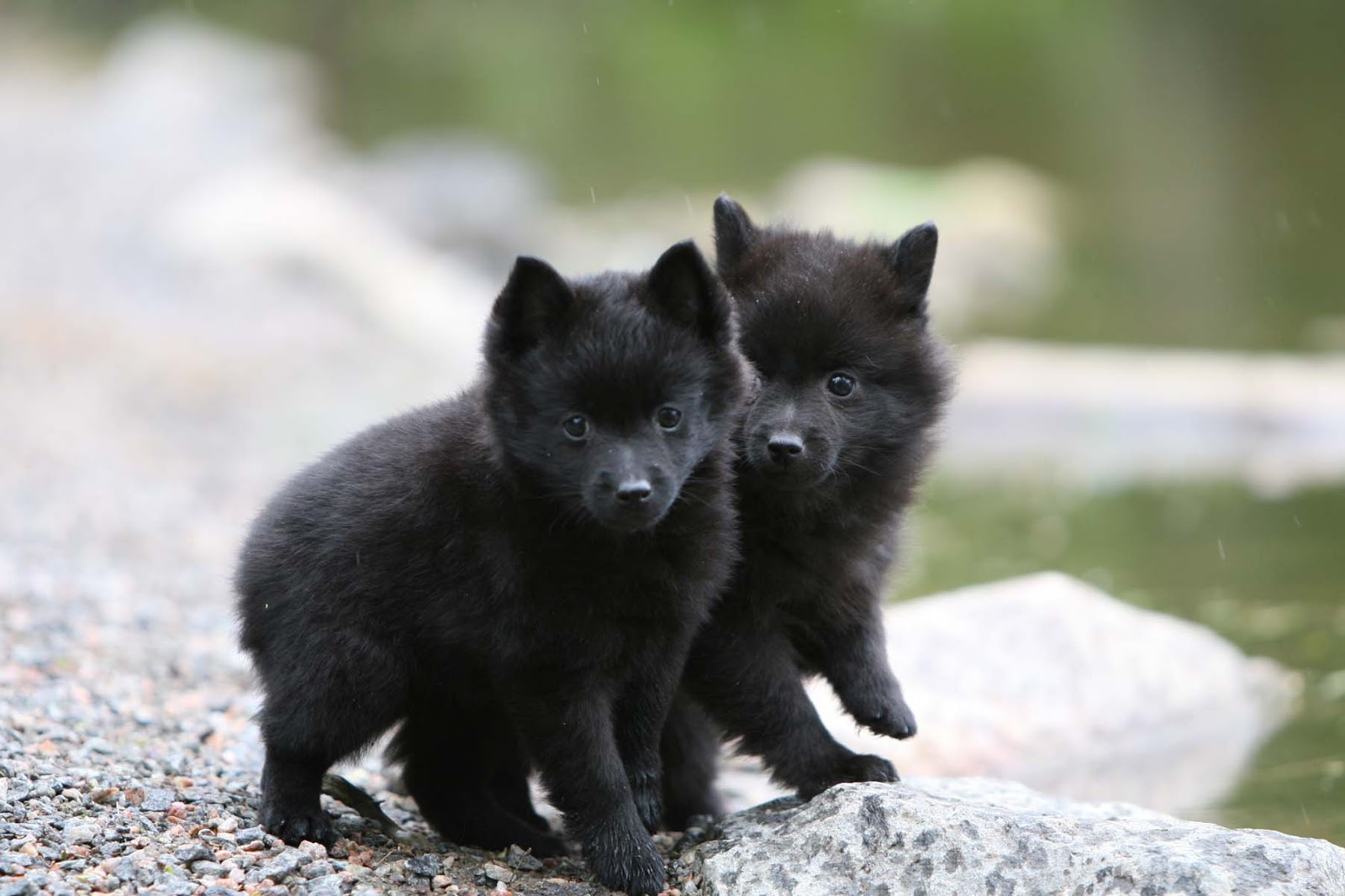 Schipperke puppies wallpaper
