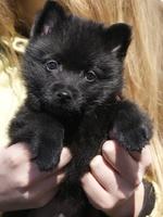 Schipperke puppy