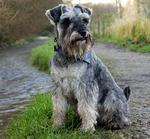 Schnauzer, Standard dog by the river