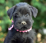 Schnauzer, Standard dog girl