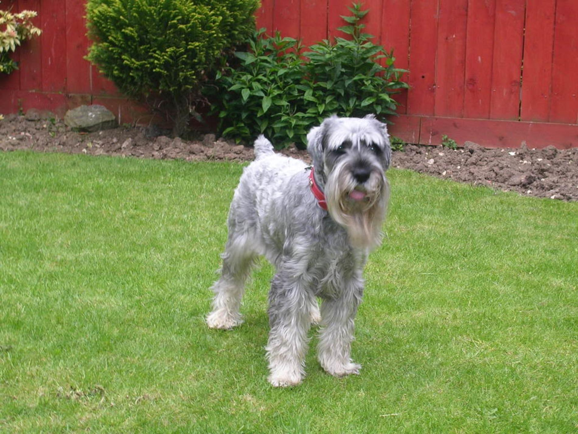 Schnauzer, Standard dog on the grass wallpaper