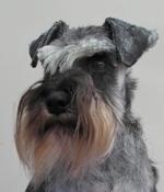Schnauzer, Standard dog portrait