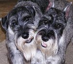 Schnauzer, Standard dogs faces