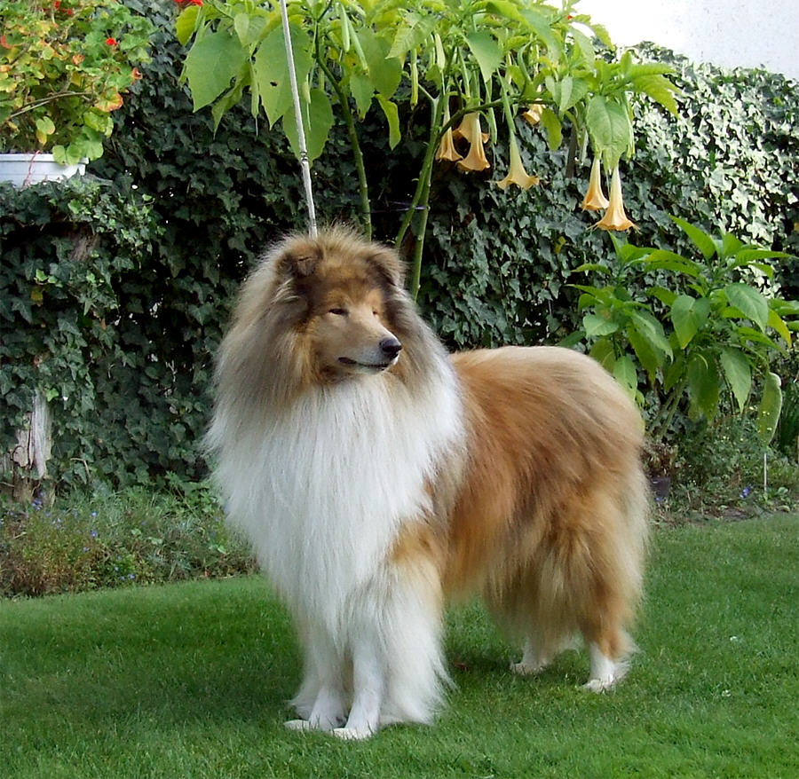 Scotch Collie dog on the grass wallpaper