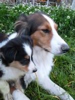 Scotch Collie dog with her puppy