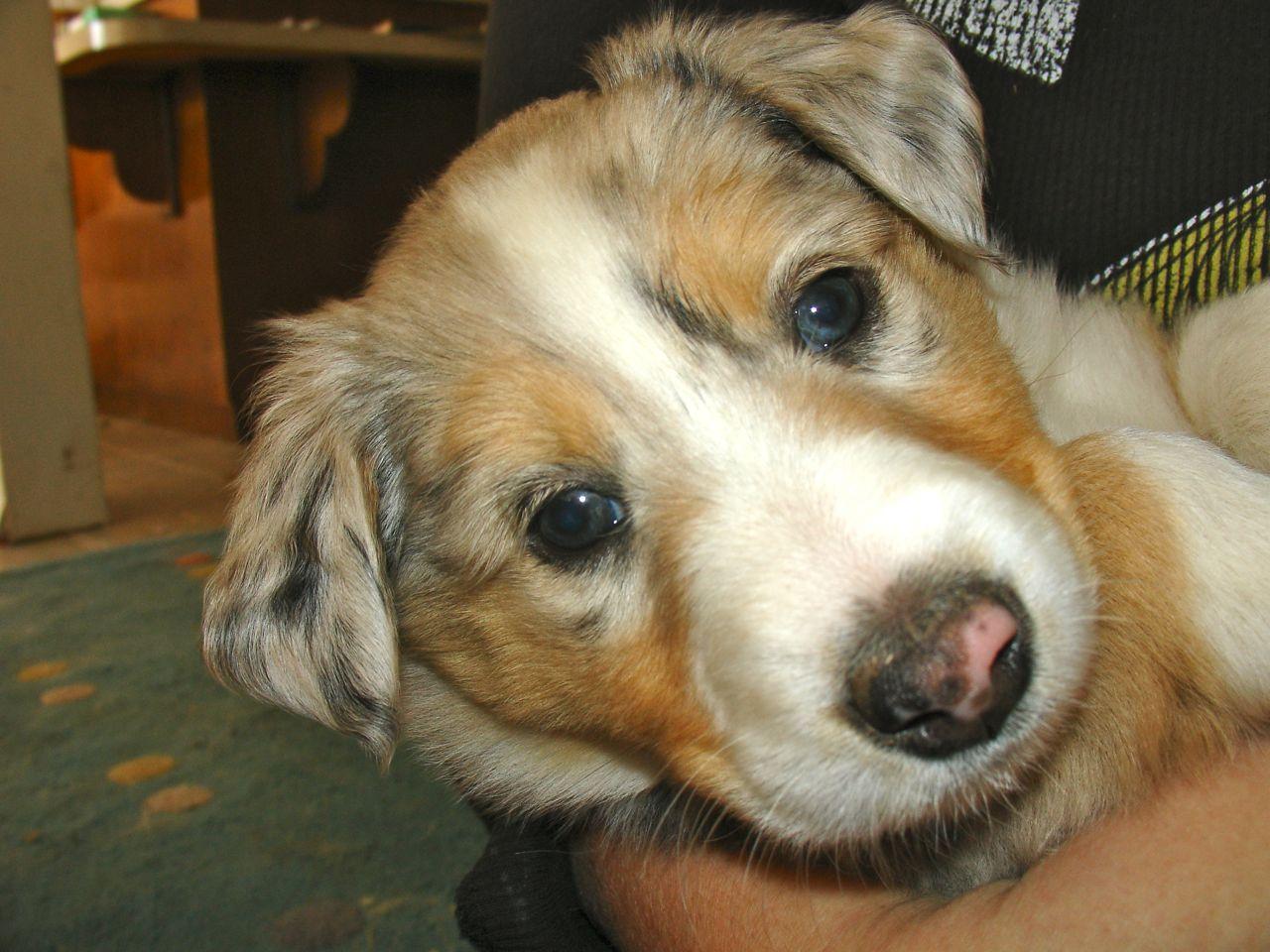 Scotch Collie puppy wallpaper