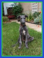 Scottish Deerhound dog near the house