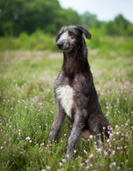 Scottish Deerhound on the field