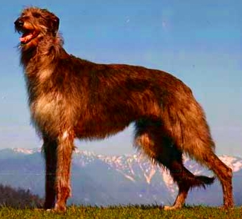 Scottish Deerhound wallpaper