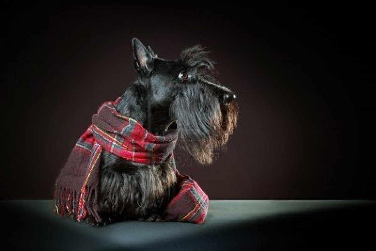 Scottish Terrier dog portrait wallpaper