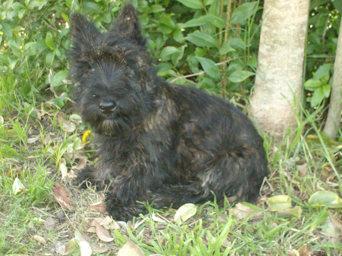 Scottish Terrier in the forest wallpaper