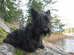 Scottish Terrier near the water