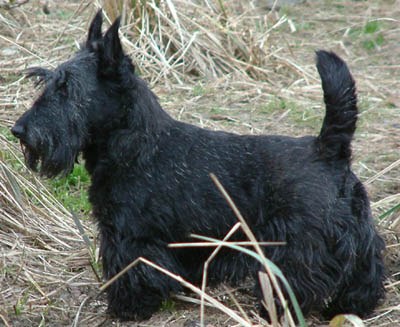 Scottish Terrier wallpaper