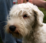 Sealyham Terrier dog face