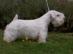 Sealyham Terrier dog in the forest