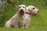 Sealyham Terrier dogs in the forest