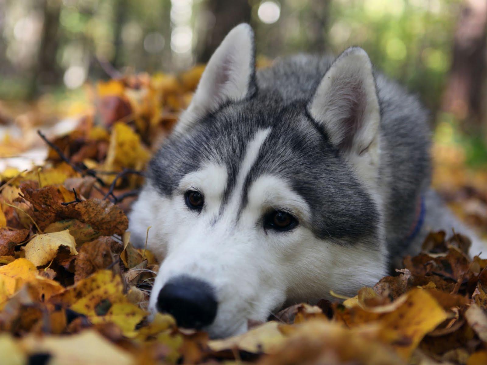 Морда сеппальской ездовой собаки фото