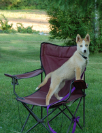 Seppala Siberian Sleddog on the chair