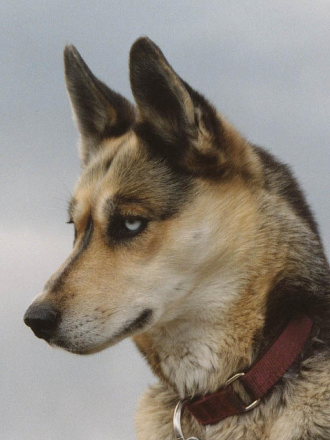 Портрет сеппальской ездовой собаки фото