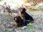 Serbian Hound dogs