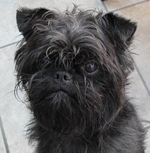 Serious black Affenpinscher