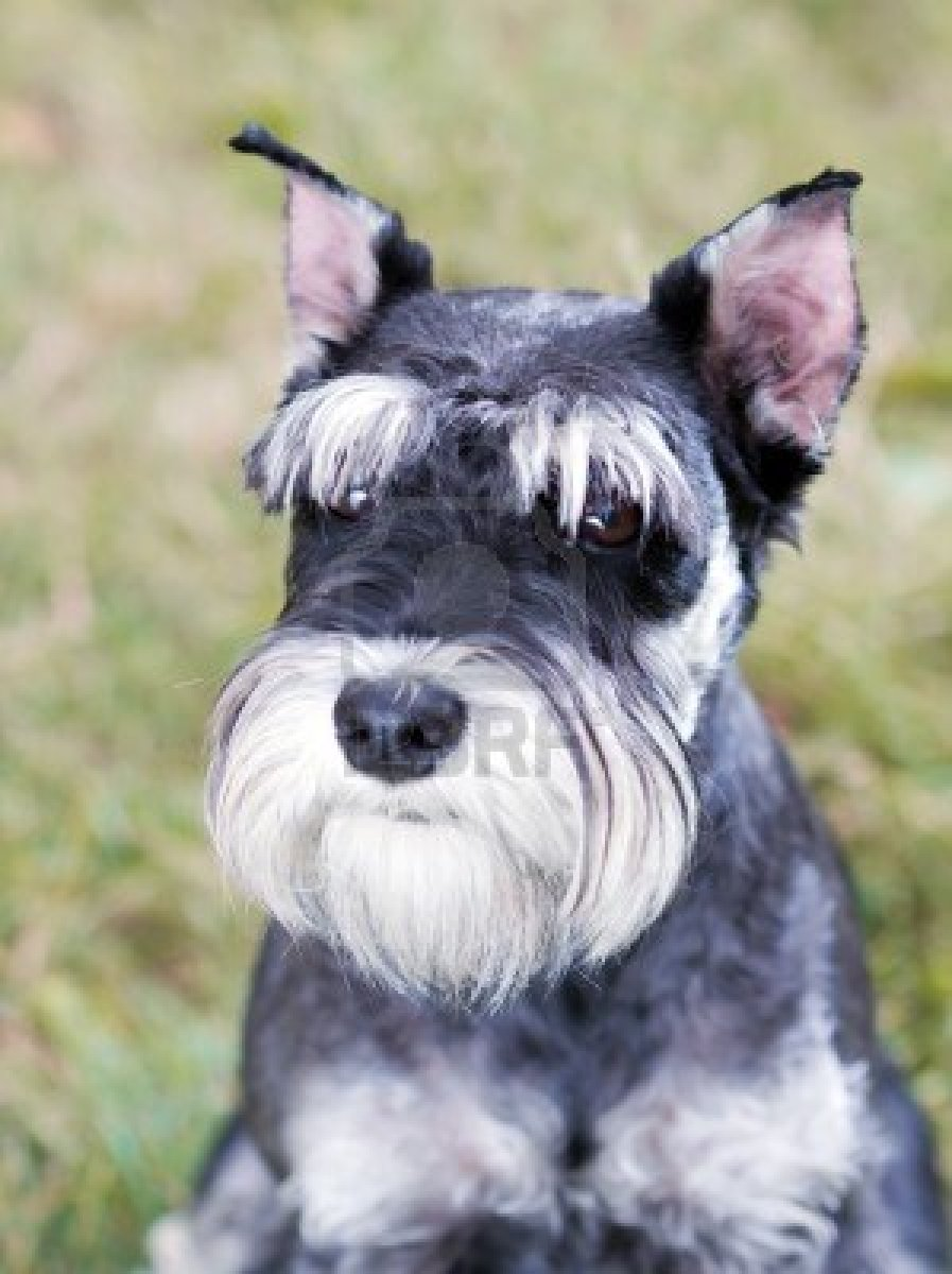 Serious Miniature Schnauzer dog  wallpaper